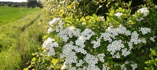 Flowering Hedges - East Lothian