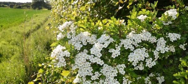 Flowering Hedges - East Lothian