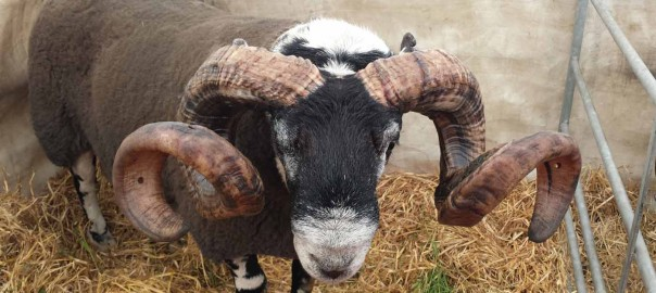 Ram at Highland Show